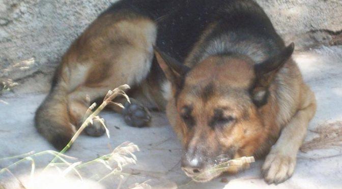 Ο σκύλος αυτός ήταν το δώρο ενός ασθενούς σ' έναν γιατρό, λόγω μιας επιτυχημένης εγχείρησης.