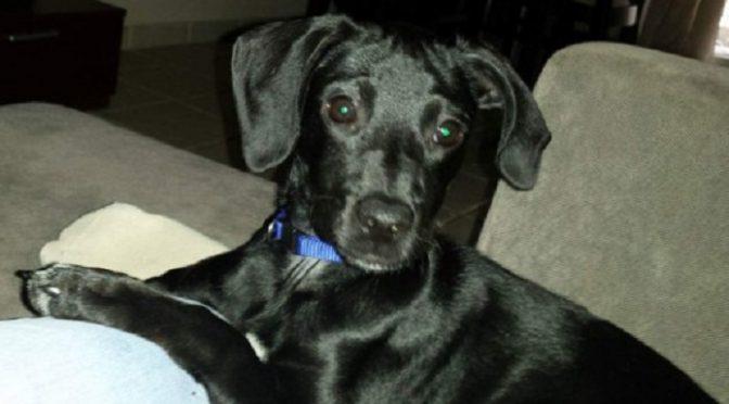 Χάθηκε χθες το μεσημέρι από την οδό Χίου, στο Πάτημα Χαλανδρίου το εικονιζόμενο θηλυκό σκυλάκι.