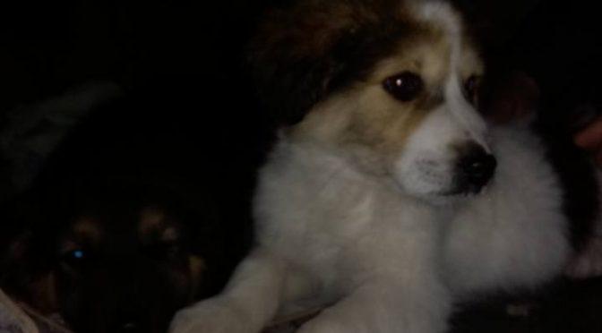 Χθες, Δευτέρα, πέταξαν δύο κουτάβια (τσοπανόσκυλα μάλλον) στην οδό Ακακιών στο Πολύδροσο.