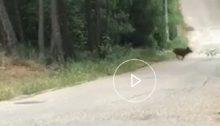 Αγριογούρουνα στα Βόρεια Προάστια; Κι όμως εμφανίστηκαν αγριογούρουνα στη θέση Νάρκισσος, στην Εκάλη, όπως φαίνεται και στο παρακάτω βίντεο.